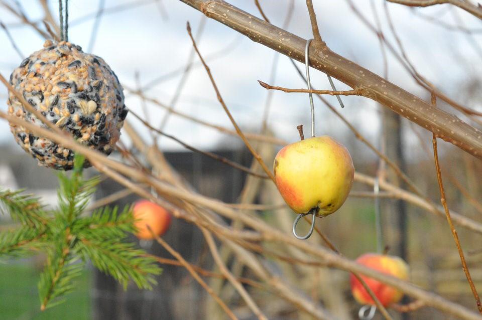 Æbler til fuglene