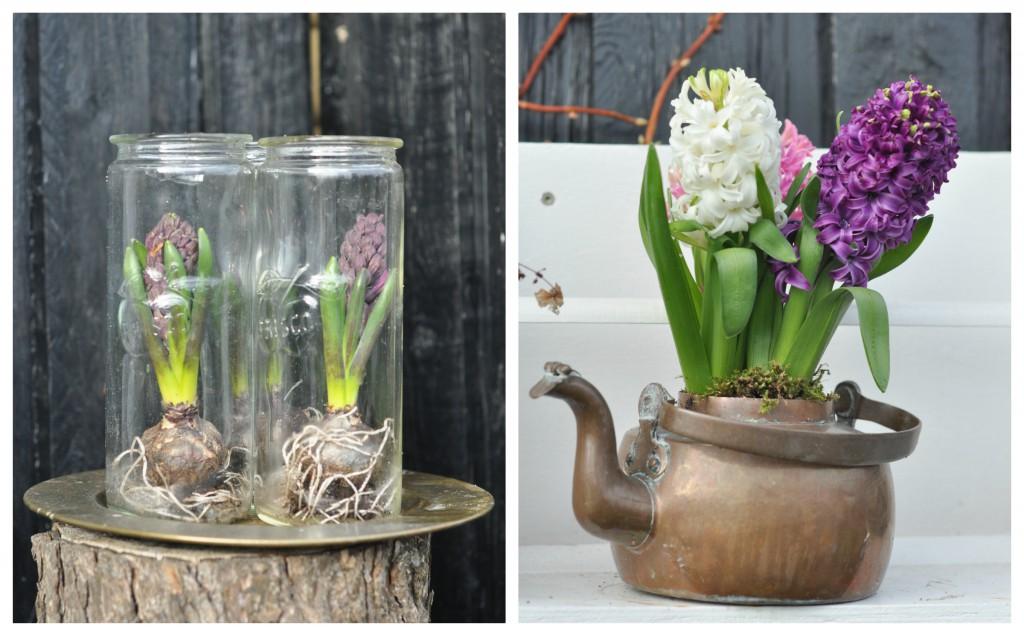 Hyacinter i krukke