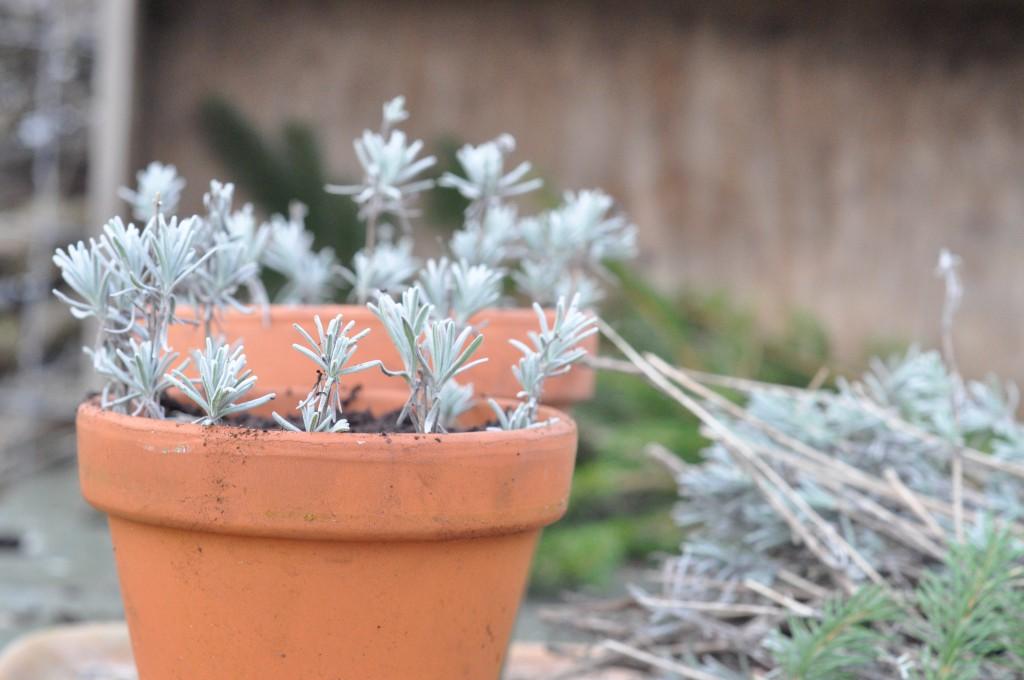 Lavendelstiklinger i potte