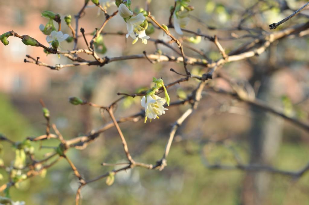 Vinterblomstrende gedeblad Lonicera fragrantissima