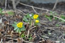 Erantis små planter