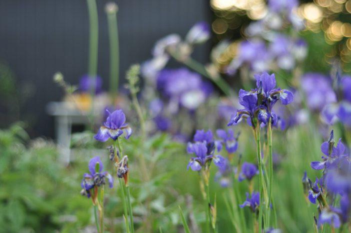 Små blå iris