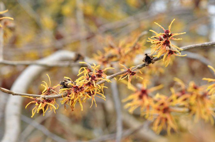 Japansk troldnød Hamamelis japonica