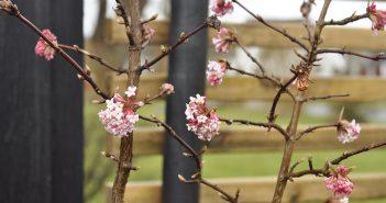 Kejserbusk i blomst