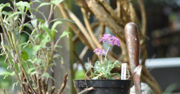 Primula i urtepotte