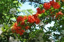 Azalea og rhododendron