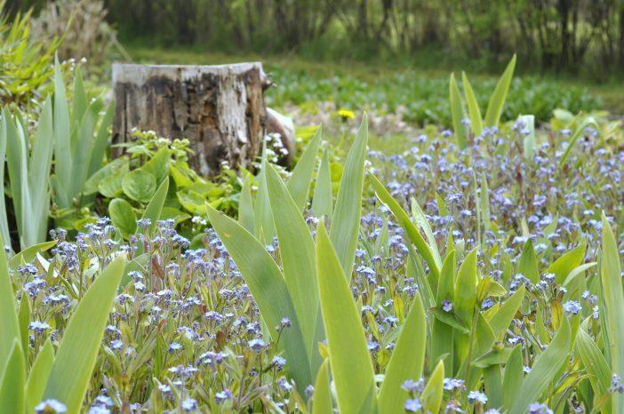 Haven i maj. Forglemmigej dækker bedet.