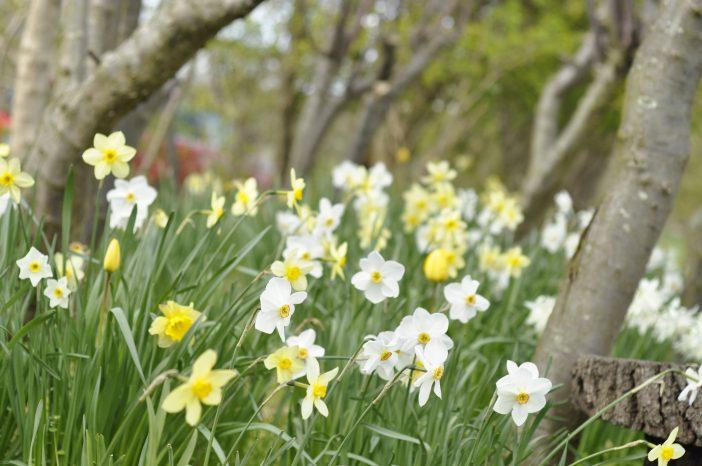 Haven i maj. Narcisserne takker af.