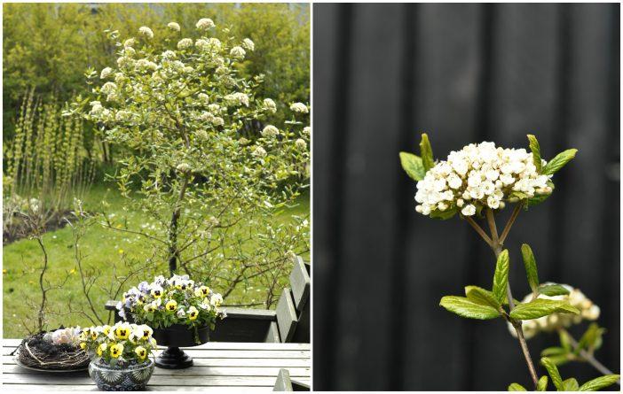 Haven i maj. Snebollebusk.