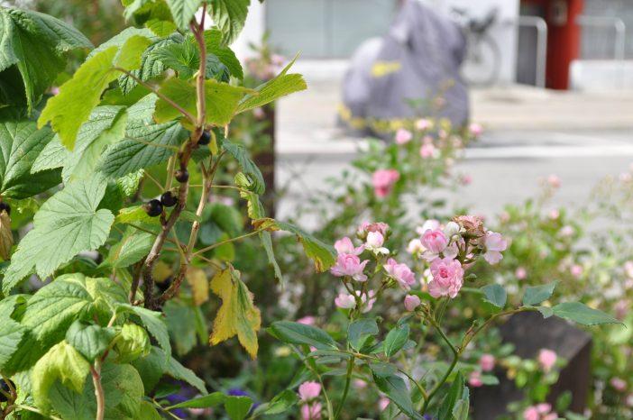 Solbær og roser