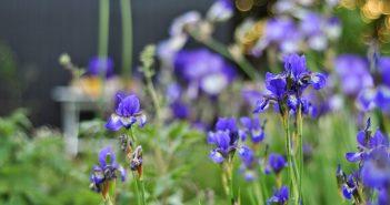 Blå sibiriske iris
