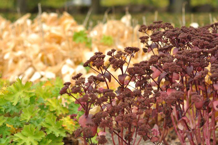 Efterårsplanter i staudebedet