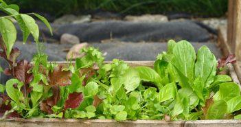 Salat i haven - små planter til udplantning
