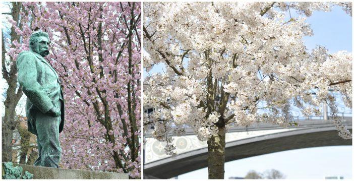 Blomstrende kirsebærtræer