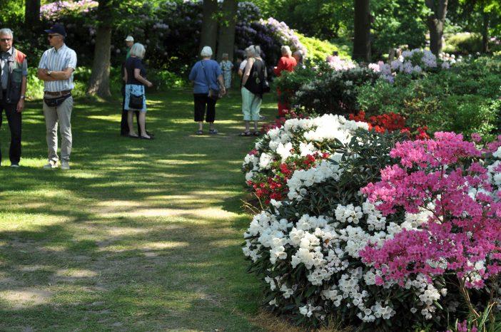 Blomstrende rhododendron i parken ved Nivaagaard