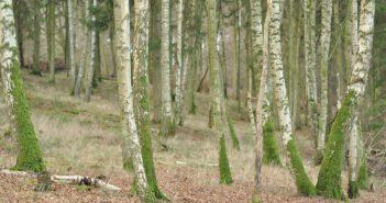 Lekkende skov - birketræer med mos