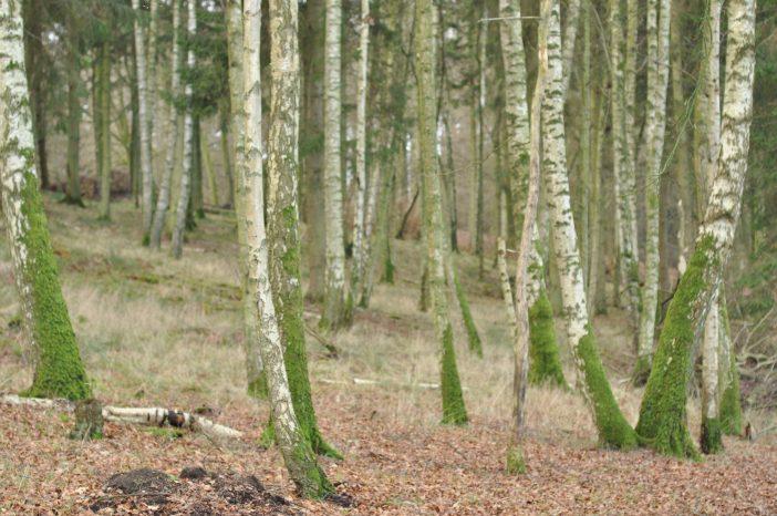 Urørt skov i Lekkende dyrehave - birketræer med mos