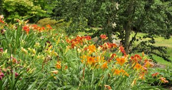 Liljer i Peter Hansens have